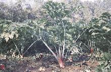 L 39 angelique de niort une plante etablissements thonnard for Plante angelique